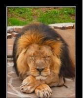 Сонный лев